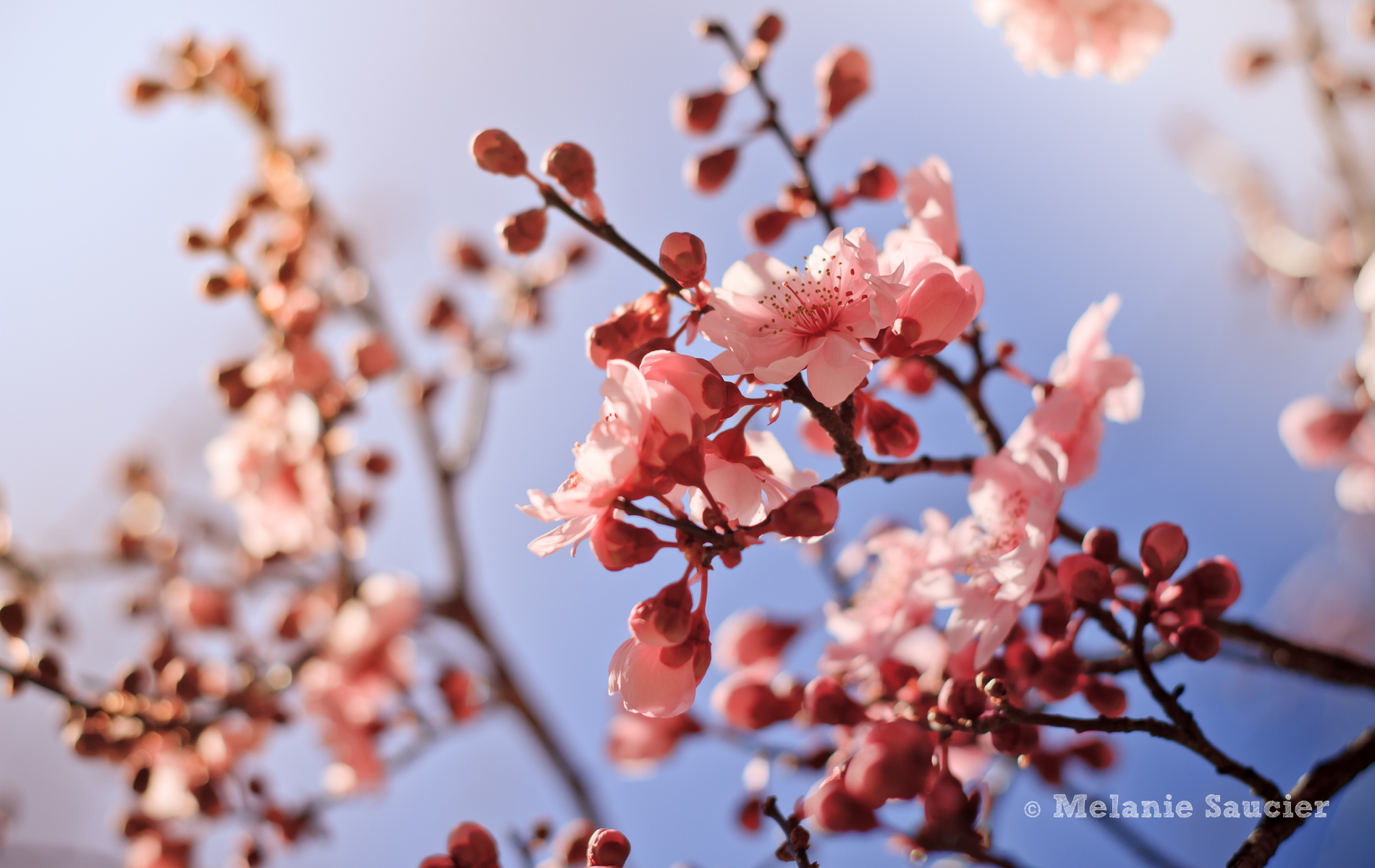 PinkBlossom2-1900x1200