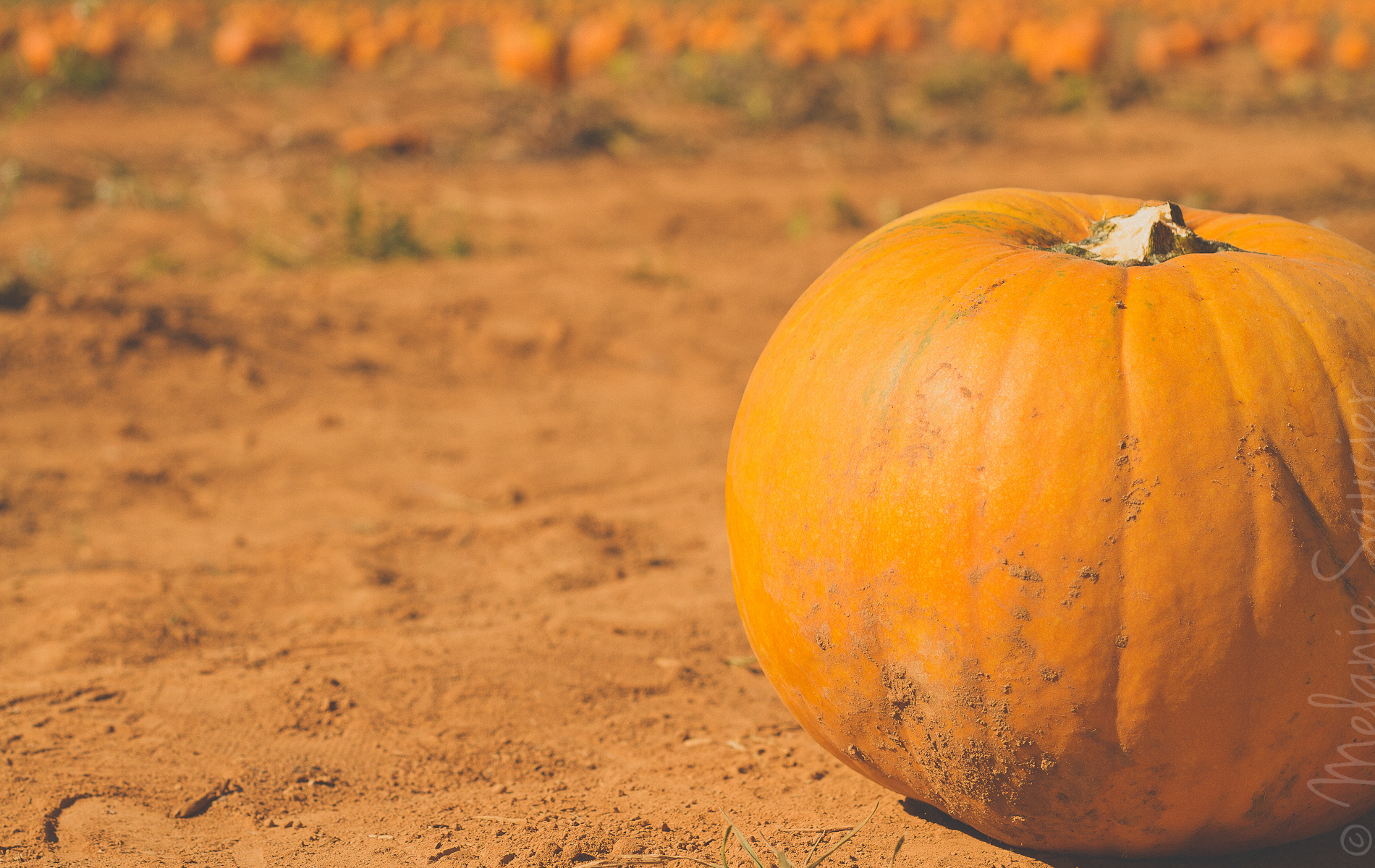 Pumpkin Patch Halloween California (26)
