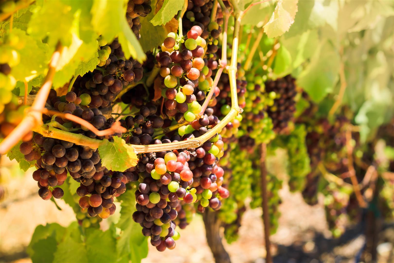 Wine Grapes (Large).jpg