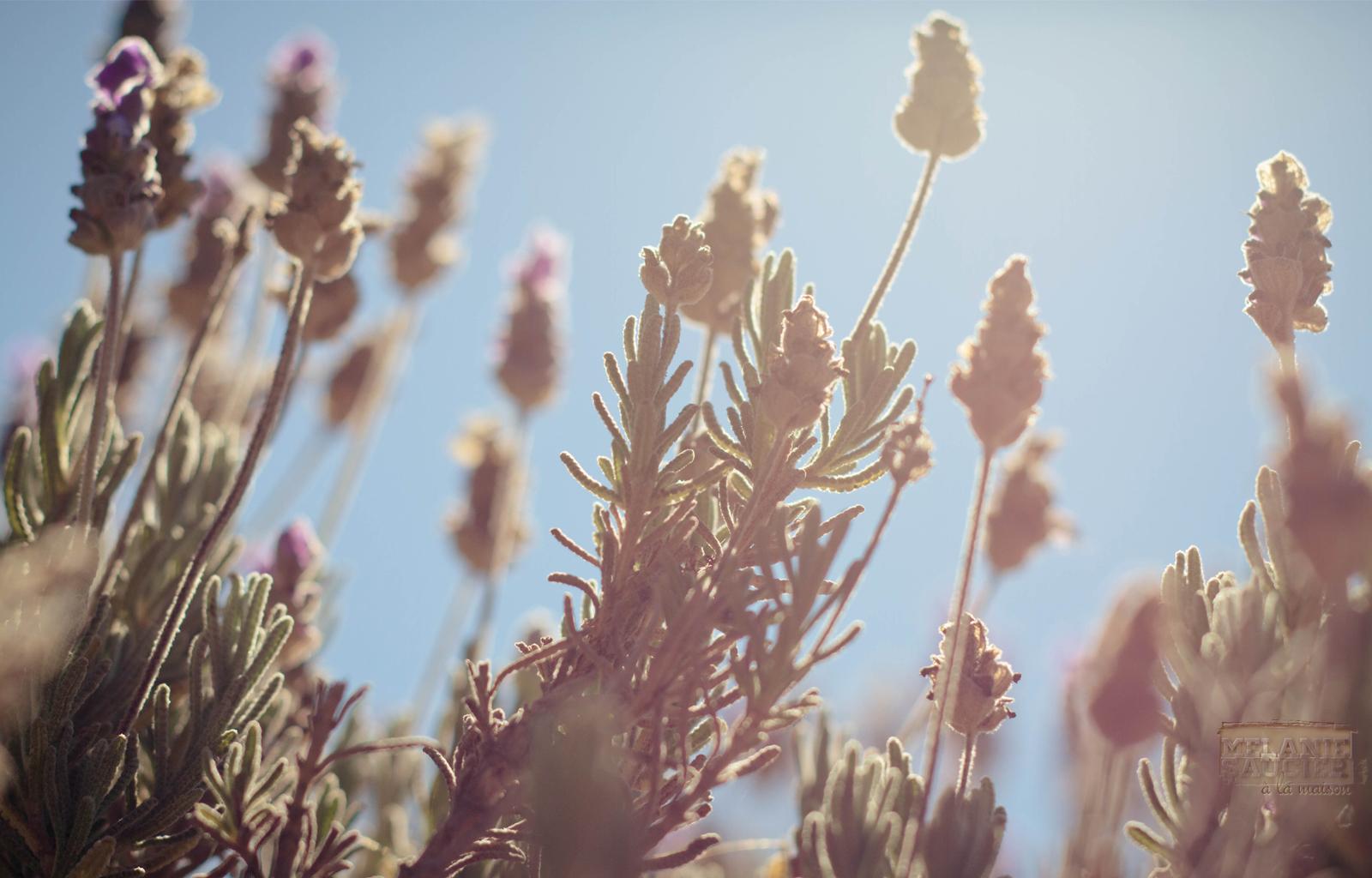 Lavender_1600x1024.jpg