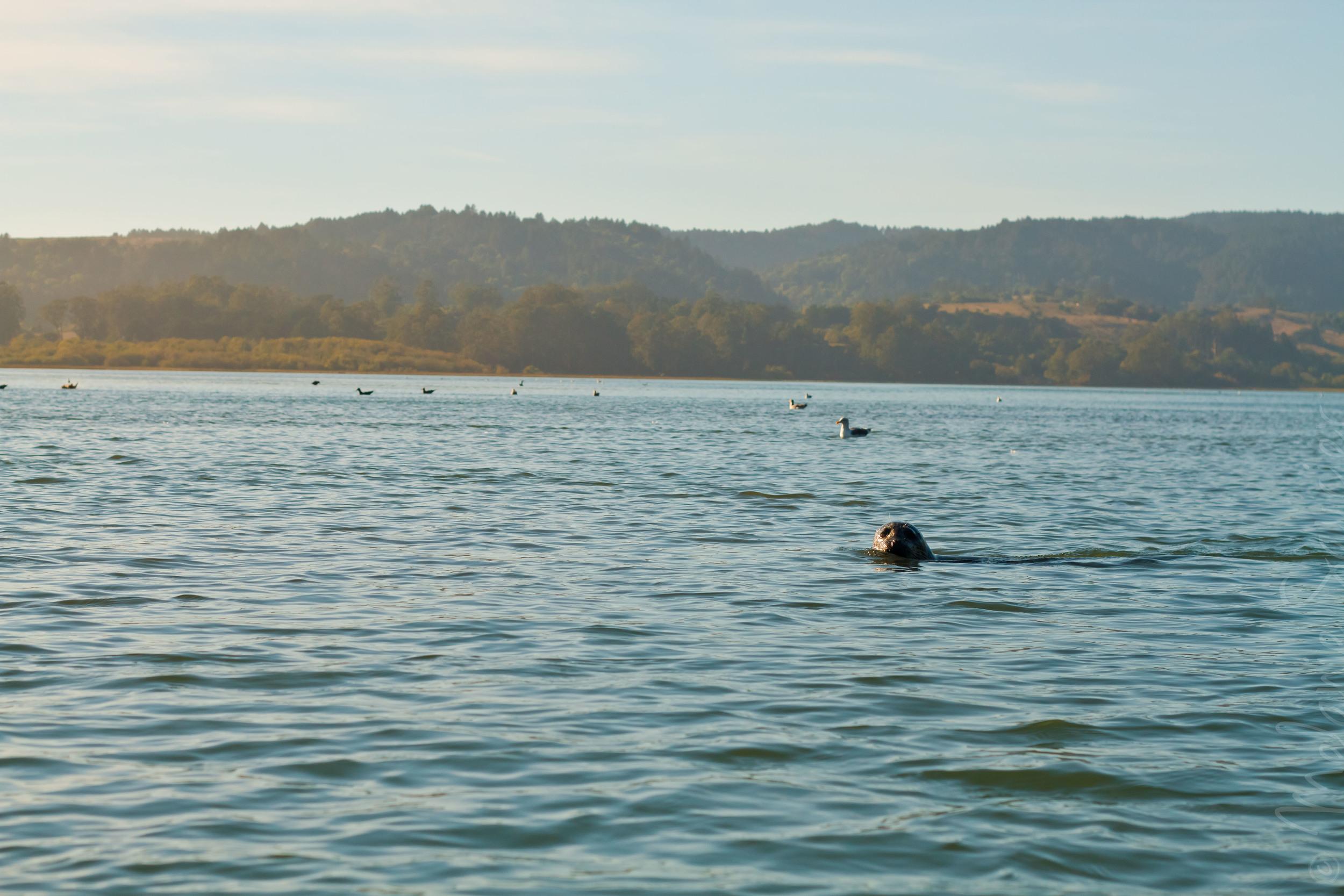 Seal at Bolinas Lagoon / Phoque dans le Bolinas Lagoon