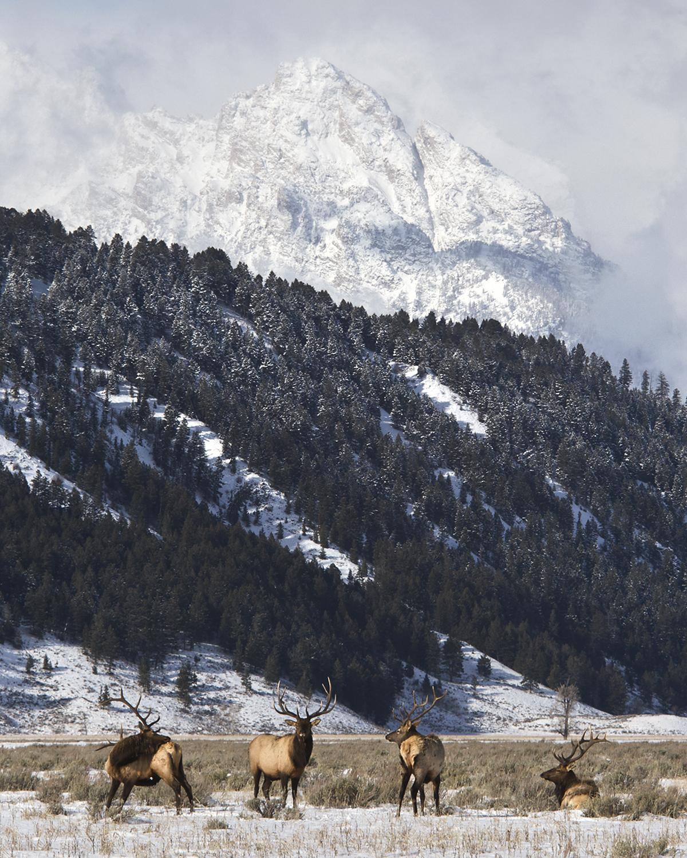 20161202 d bull elk.jpg