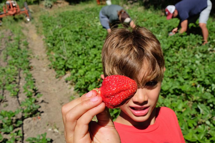 picking strawberries in Leavenworth