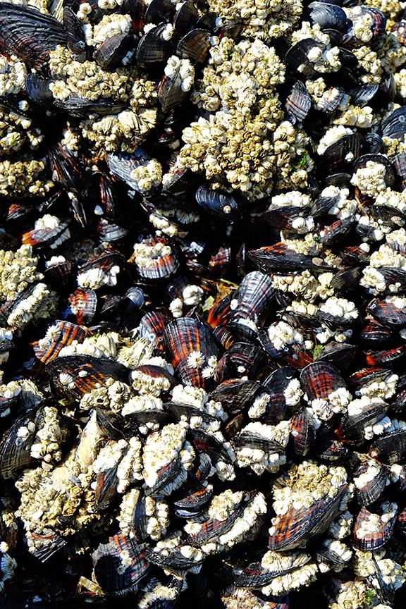 mollusks and barnacles
