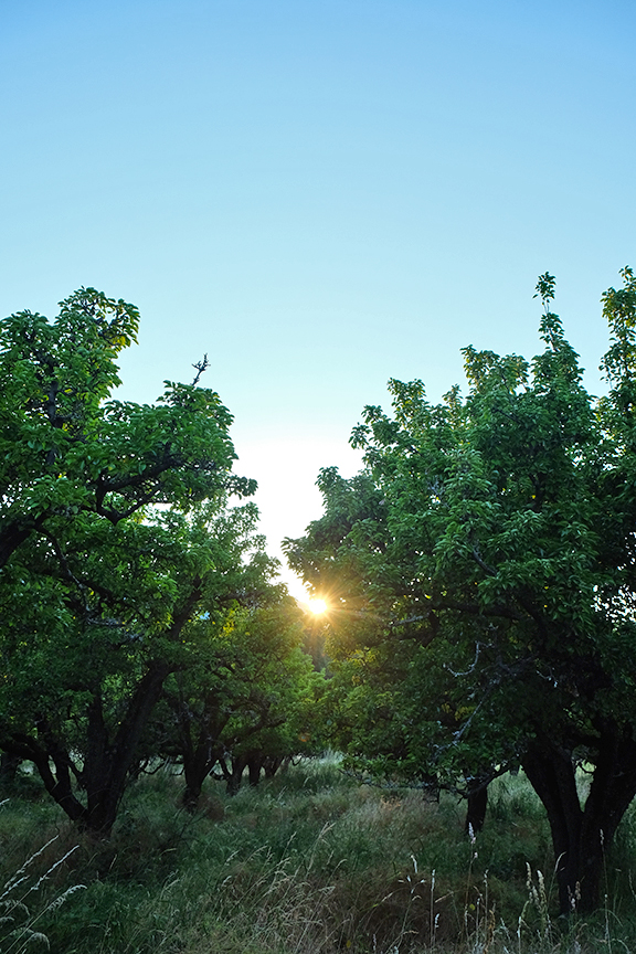 Sunset at the pear orchard