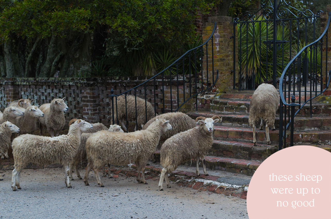 Of+Good+Stock_Charleston-sheep+Middleton+Place.jpg