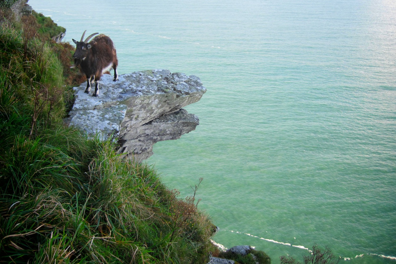 Wild Goat at The Valley of Rock