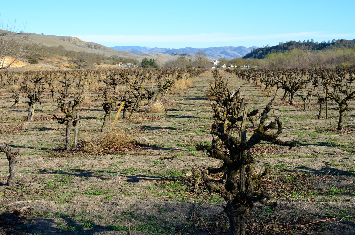 60 year old Riesling vines, dry farmed