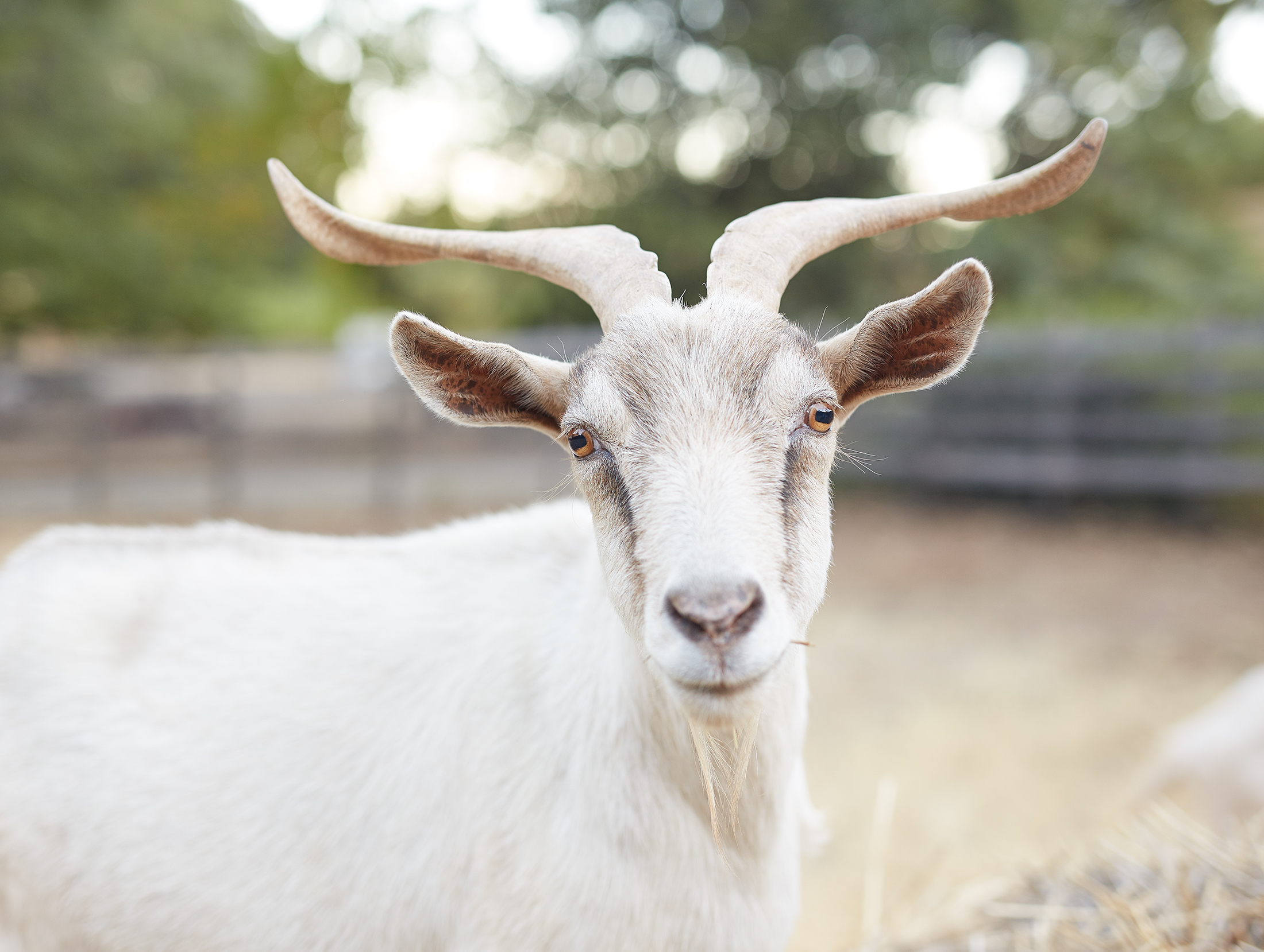 Black Sears (Goat).jpg
