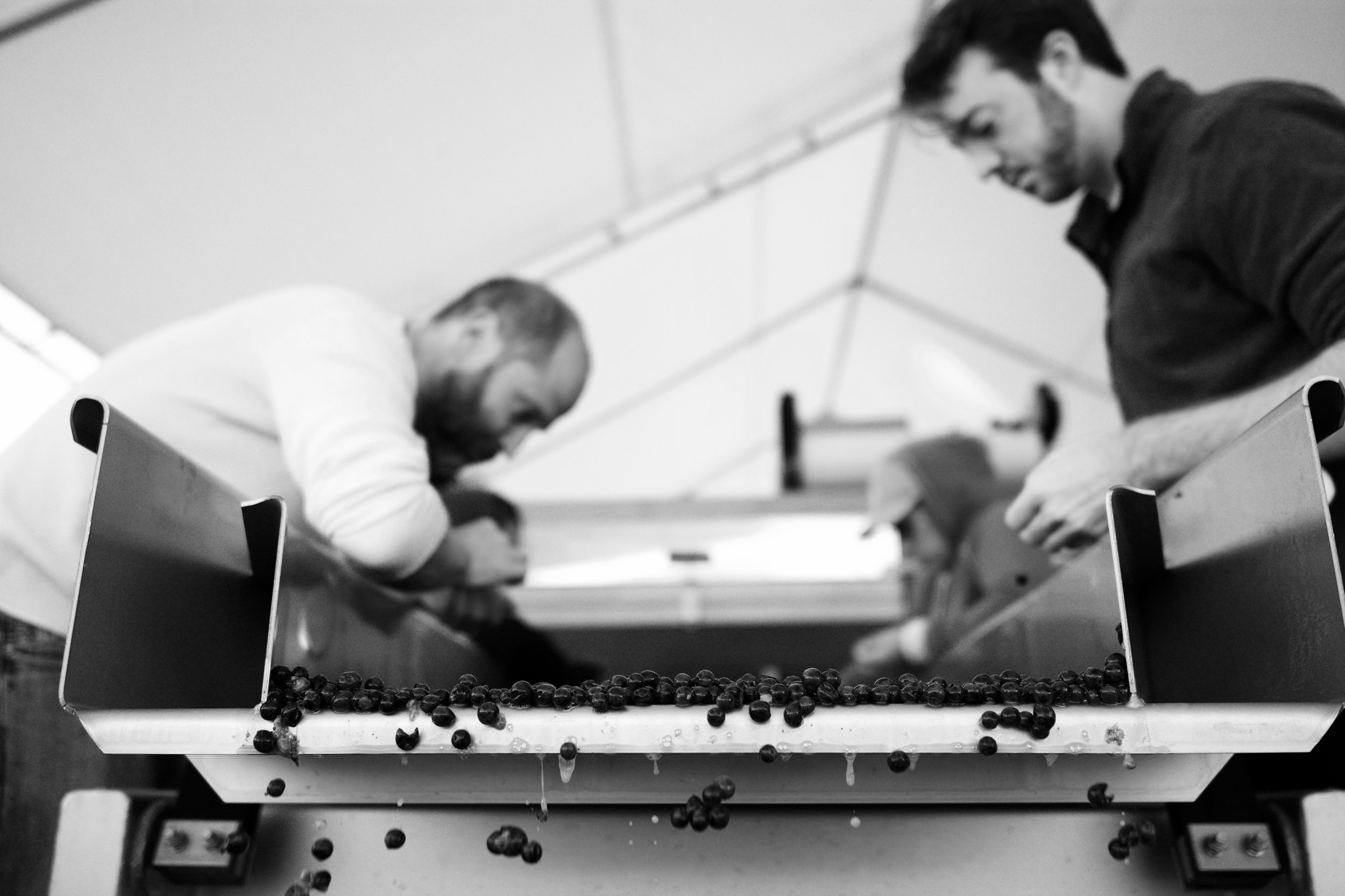 Grape sorting table