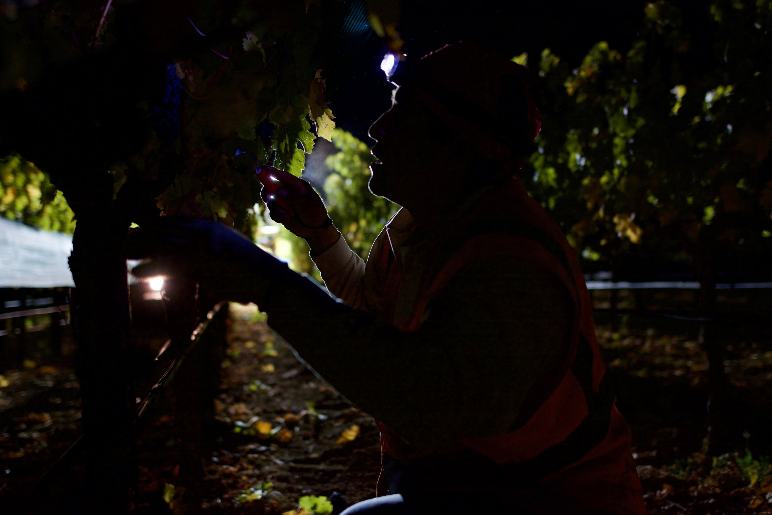 Picking fruit at night