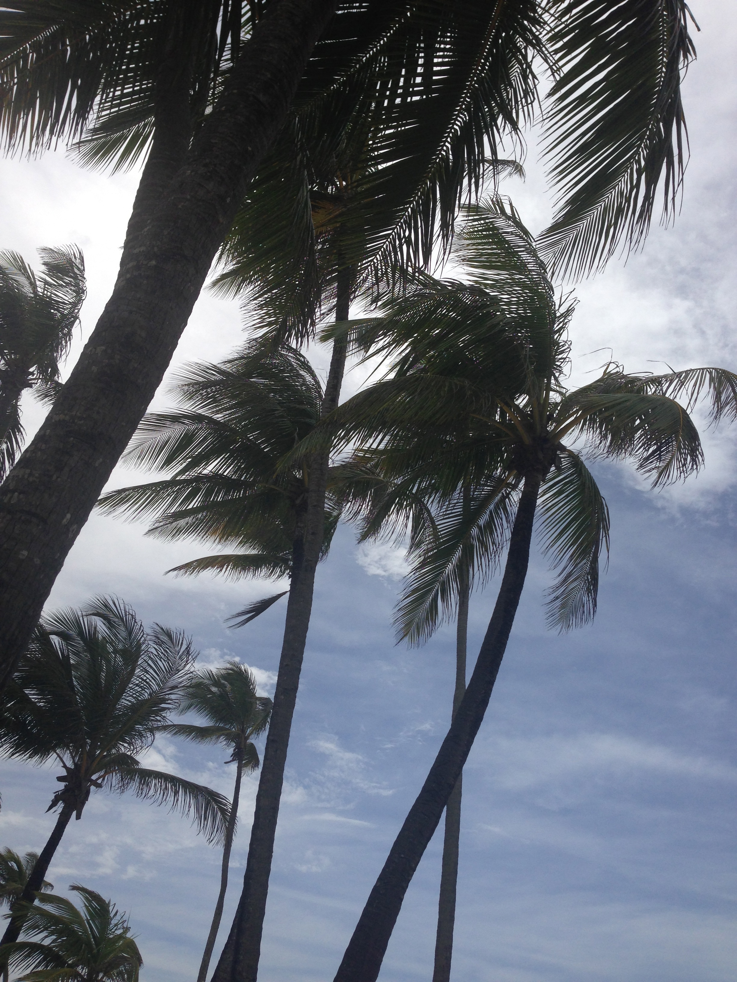 Hawaiian Palm Trees