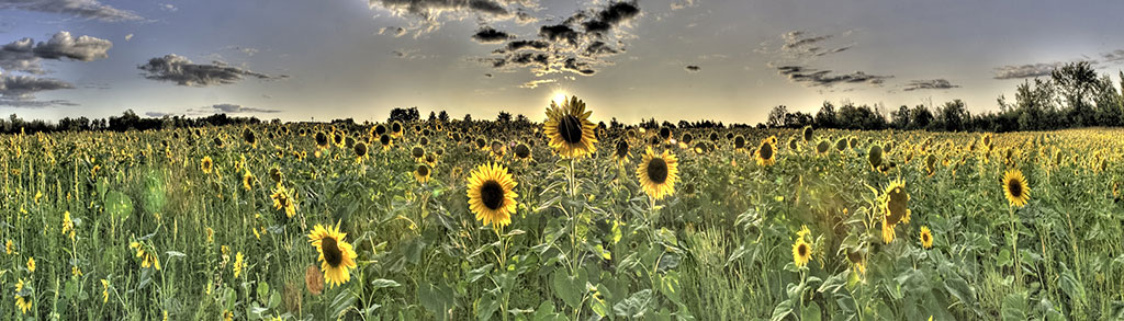 Sunflower-Panorama_Adam-Jacobs-Photography.jpg