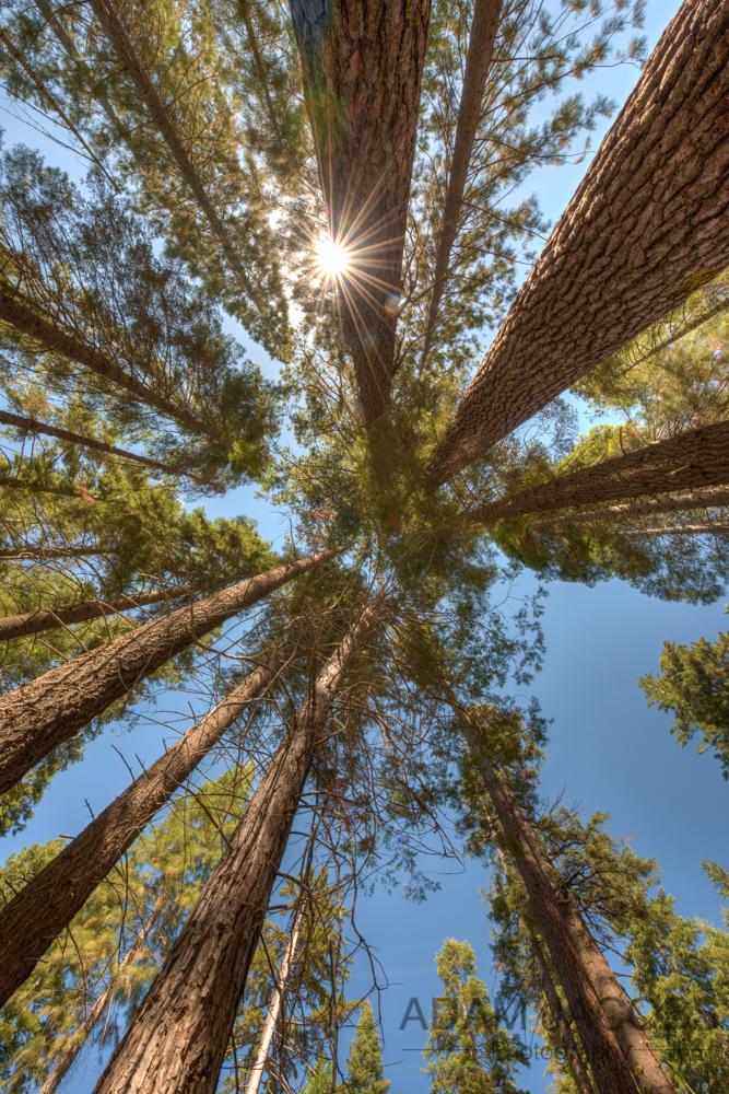 Sequoia Trees Yosemite National Park Mariposa Grove