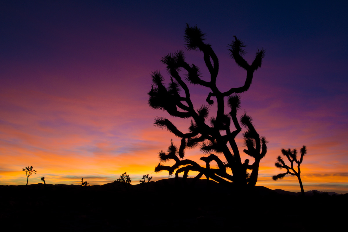 A classic Joshua Tree at sunset - Joshua Tree National Park