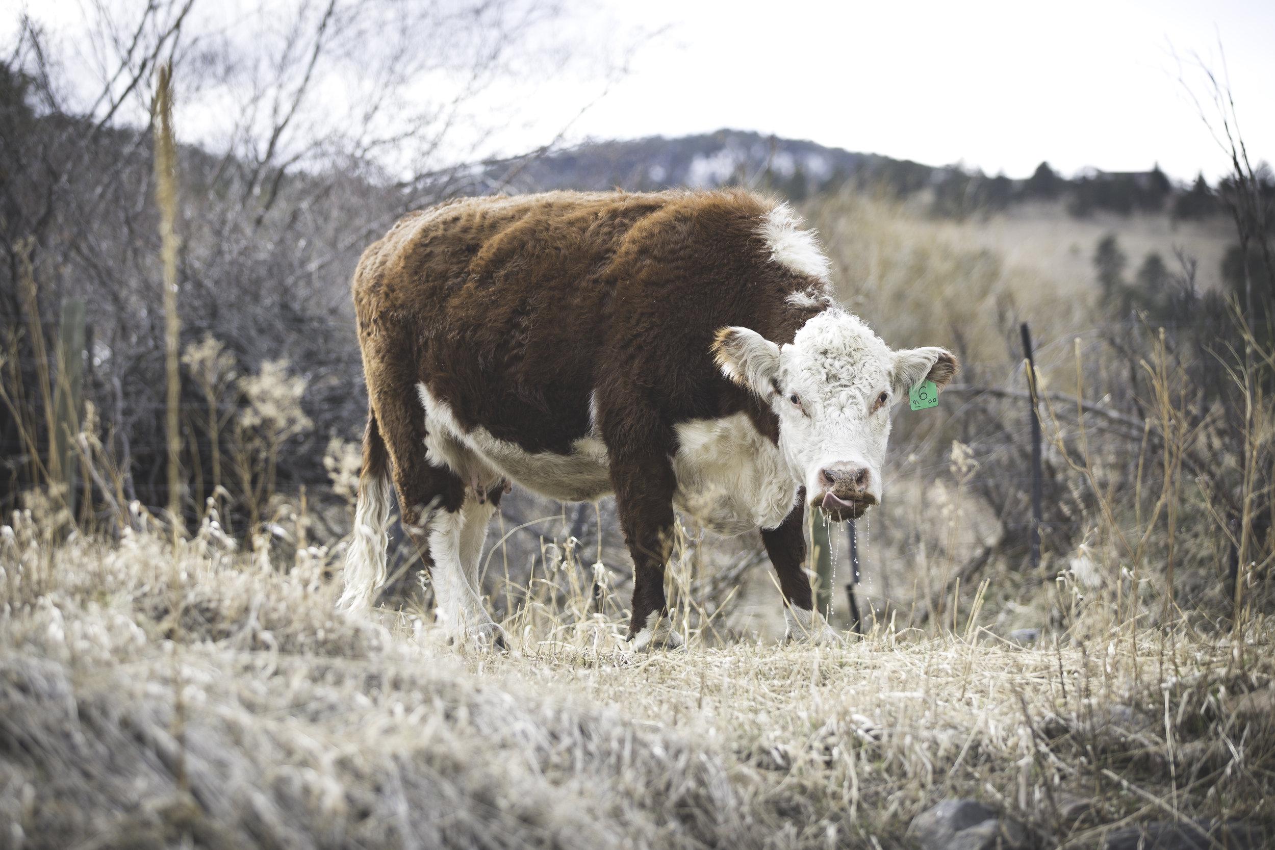 MP_Belcher Hill & Cows-0172-2.jpg