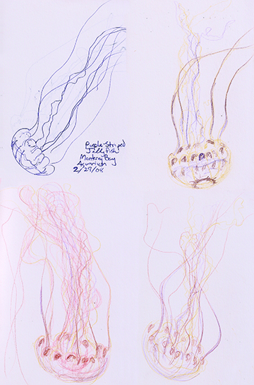 Sketches of Purple Striped Jellies in the Monterey Bay Aquarium