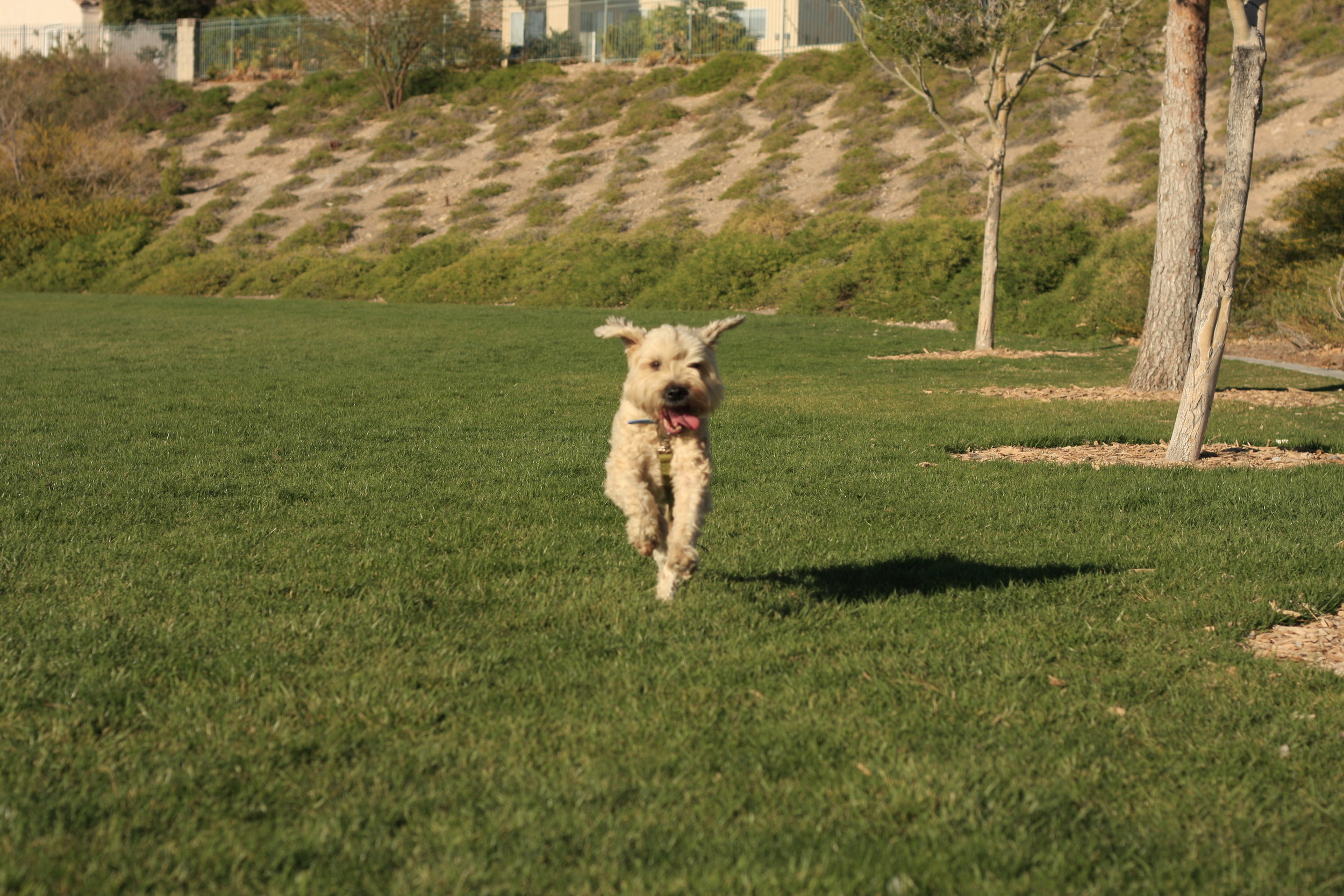 Tucker - CGC TDI HIC NAC SDSoft coated wheaten terrier1996- 2013