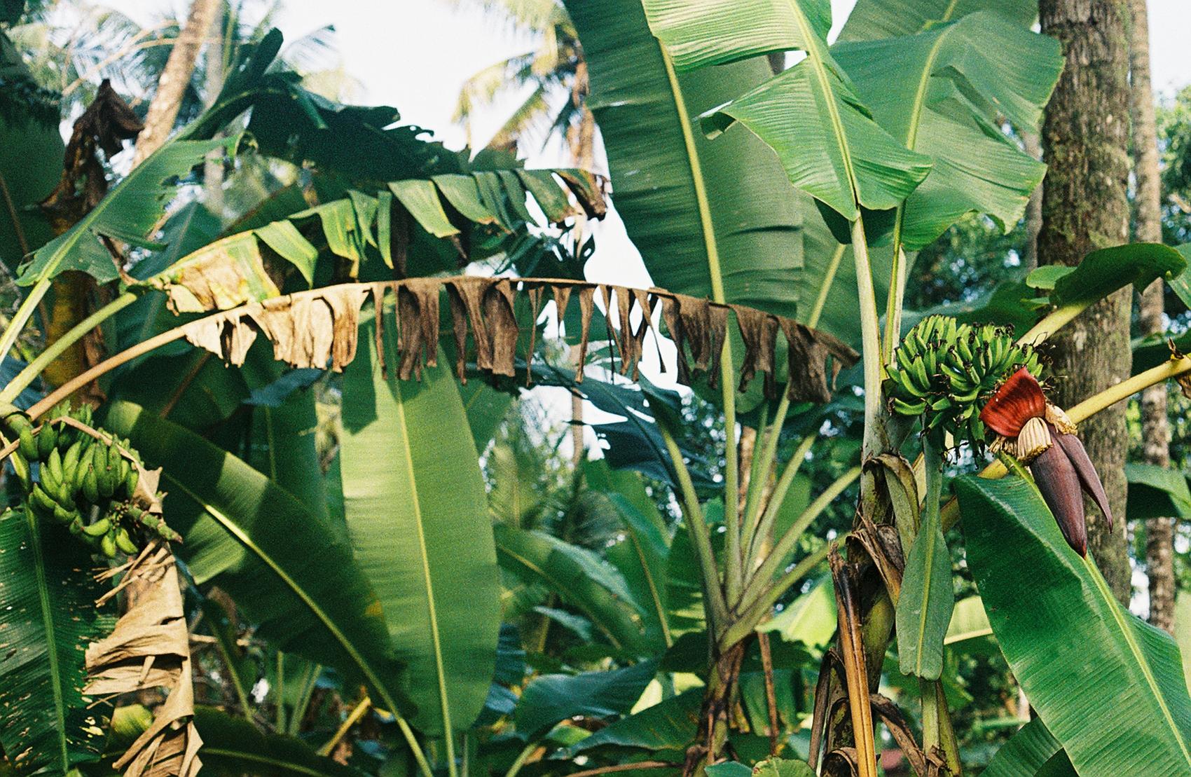 banana flower by noel graupner