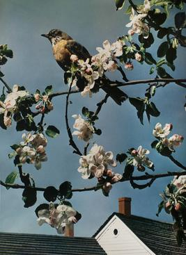 1. Paul Outerbridge  2. First Robin of Spring  3. 1938  4. Carbro print  5. Represented by the Bruce Silverstein gallery