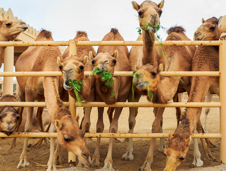 The King's camels