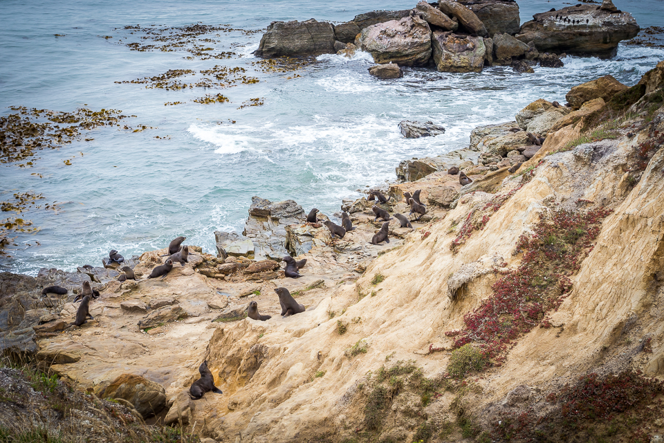 Fur seals at Shag Point
