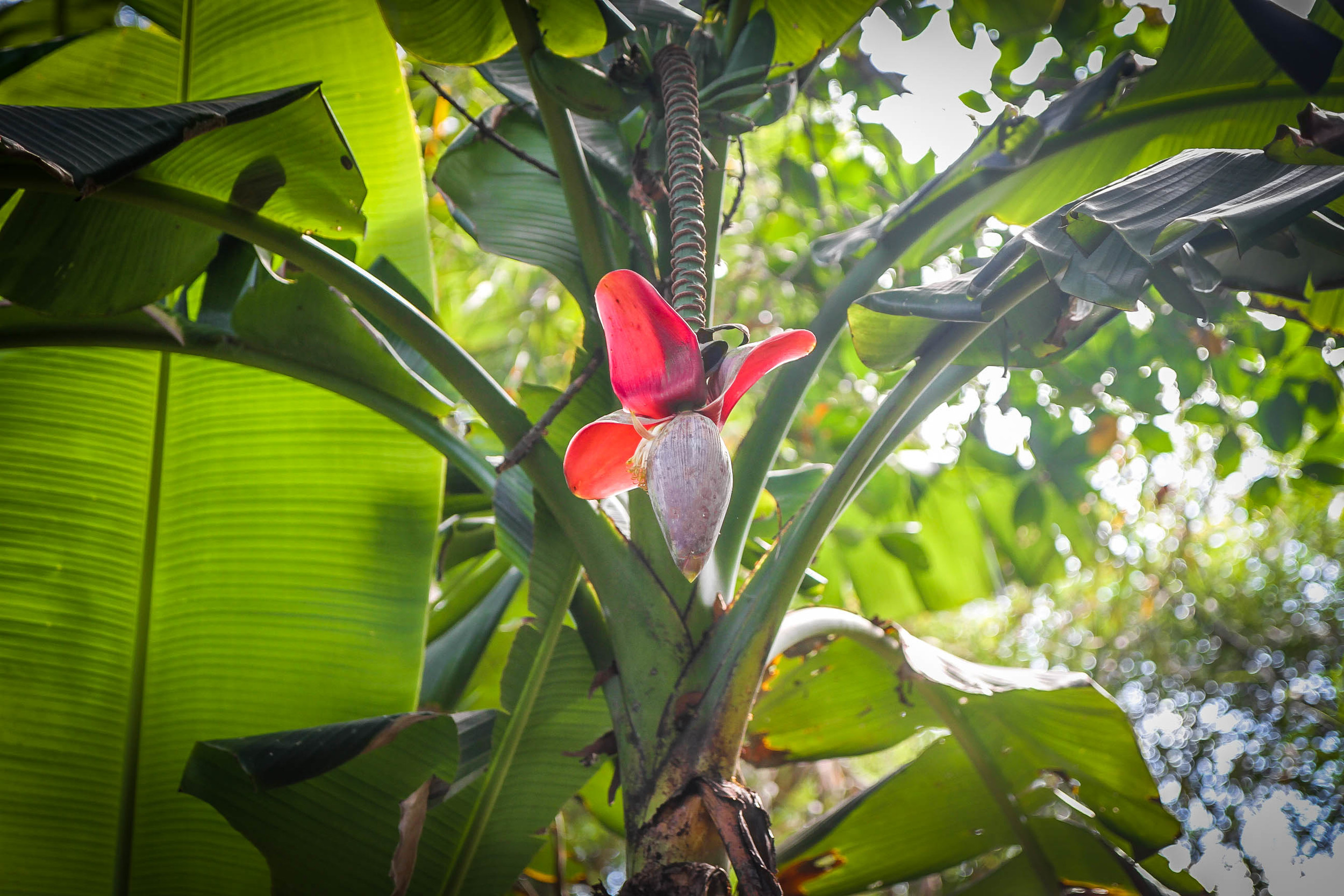 Vietnamese Banana Blossom