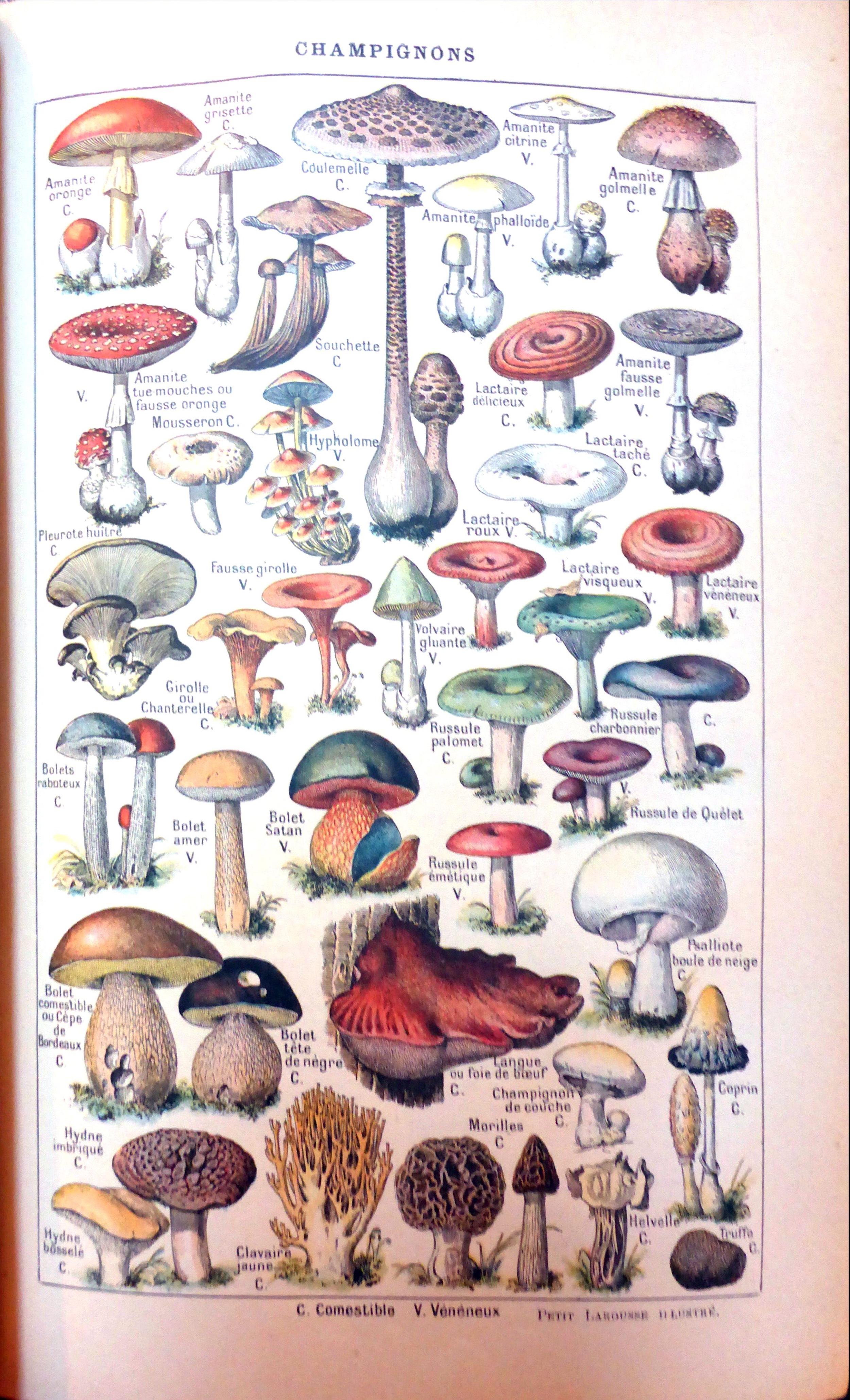 Der schöne alte Larousse - hier mit Pilzen in der Übersicht (zum Vergrößern anklicken)