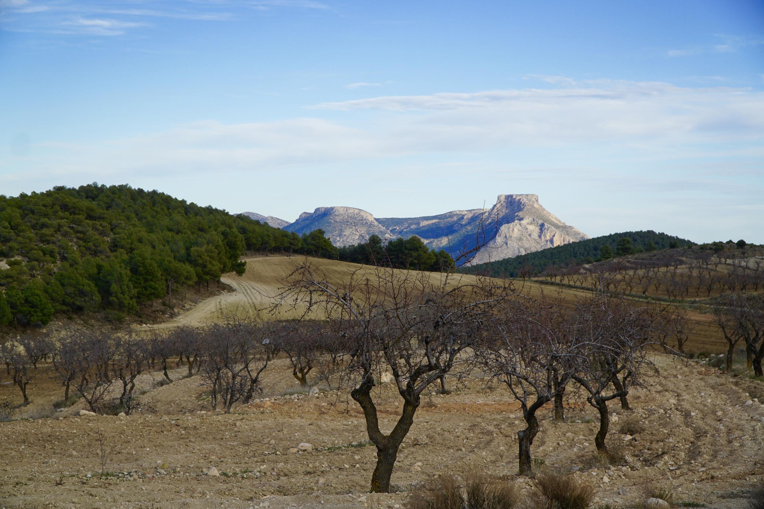 Dormant almond trees