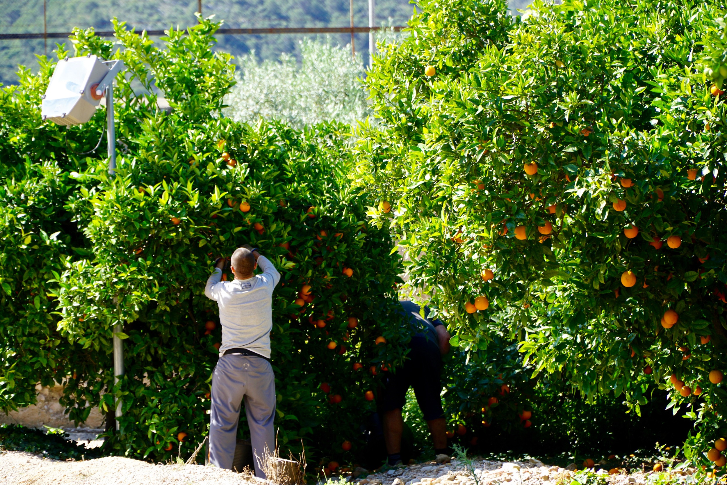 More orange trees than you thought possible.