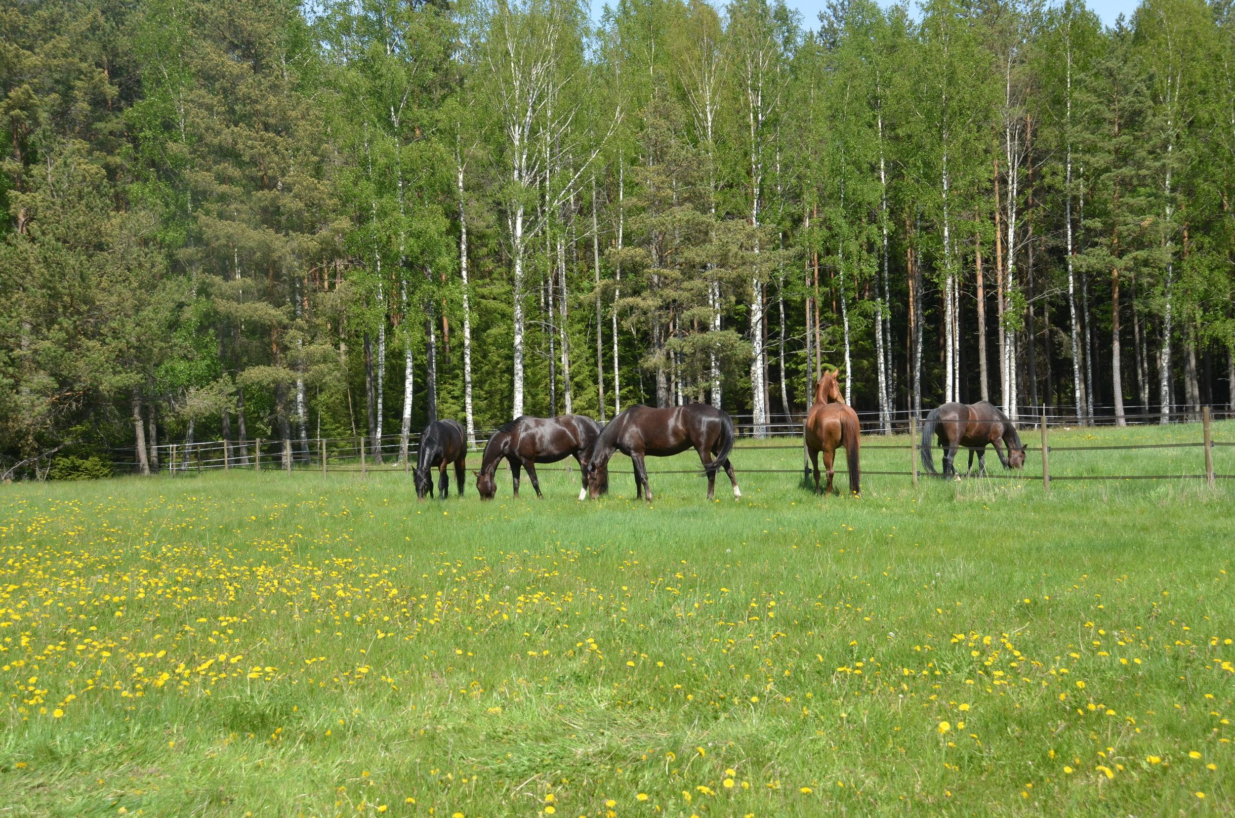 Primera andra hästen från vänster sommaren 2018