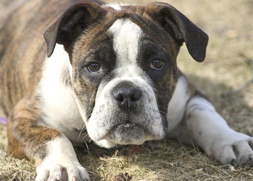 bulldog_pup.jpg