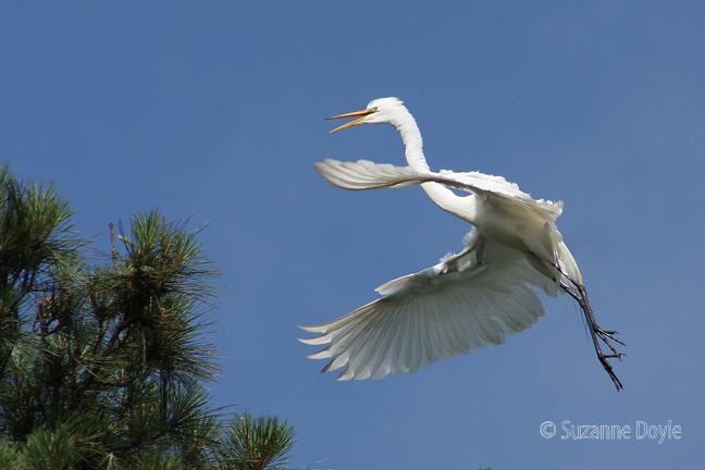 egret in flight 72 ©.jpg