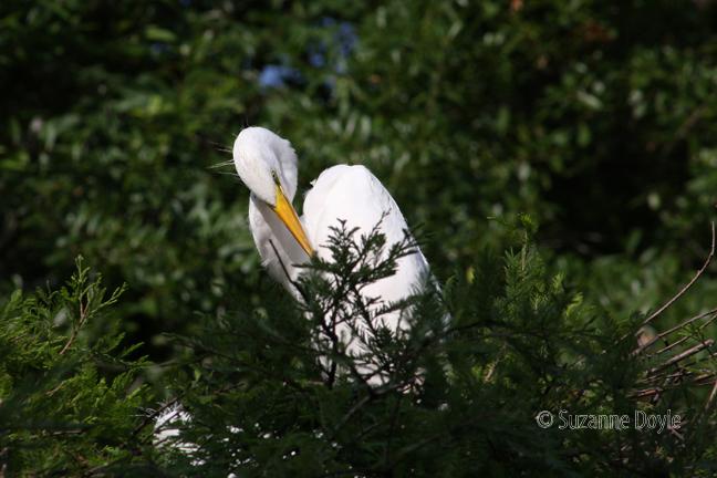 Egret looking down 72©.jpg