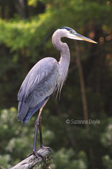 blue heron 72©.jpg