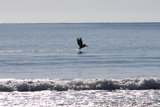Pelican taking off 72.jpg