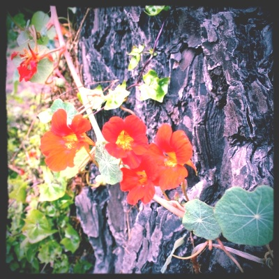 Stop and smell the nasturtiums (by Moss Beach)