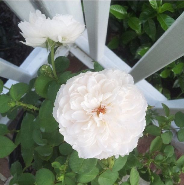 My new David Austin rose bushes starting to bloom