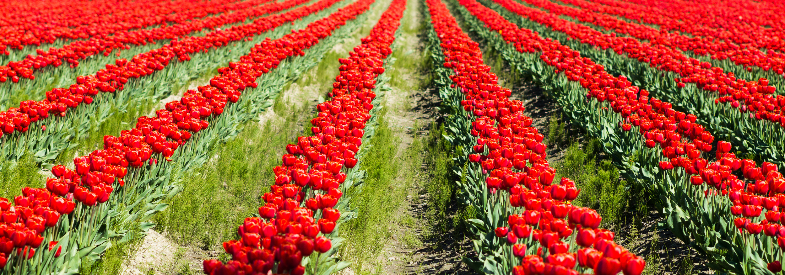 Washington_Tulips_1.jpg