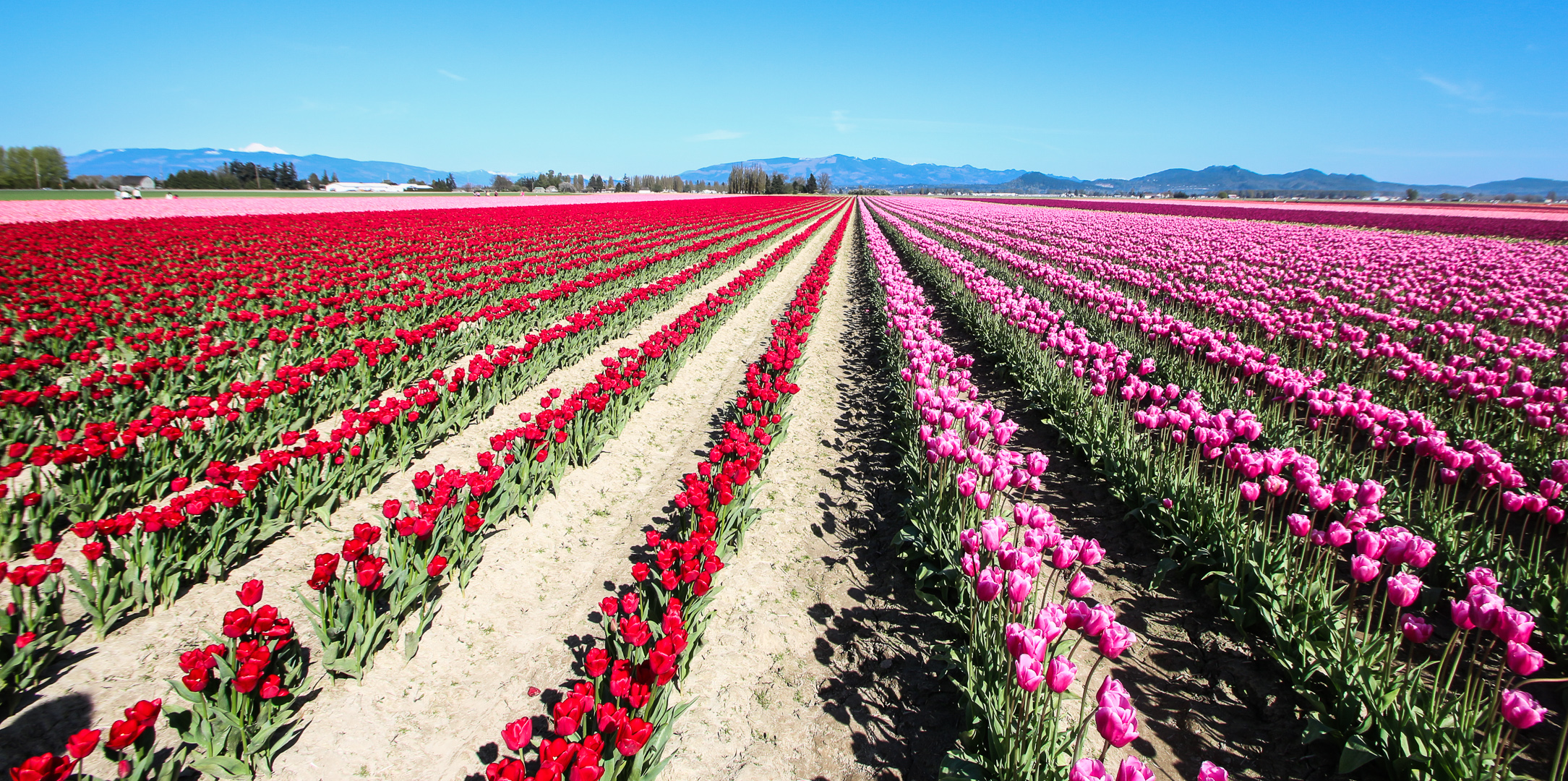Washington_Tulips_6.jpg