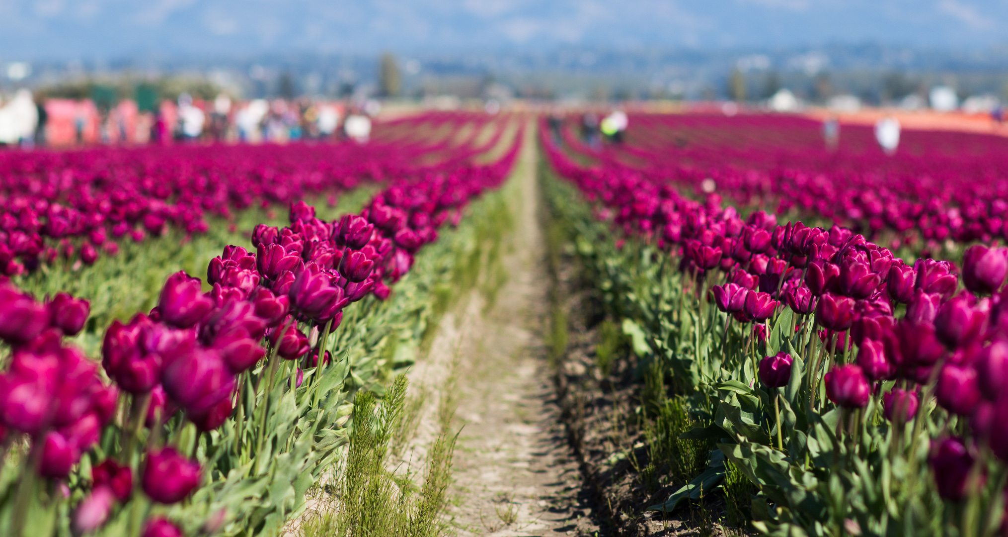 Washington_Tulips_8.jpg