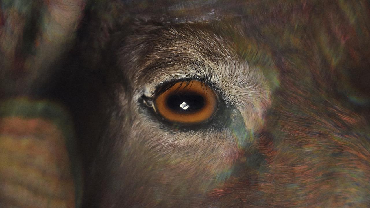 RAM HEAD VIA  ORACLE  , PH. LAUREN THURMAN-KING, 2014
