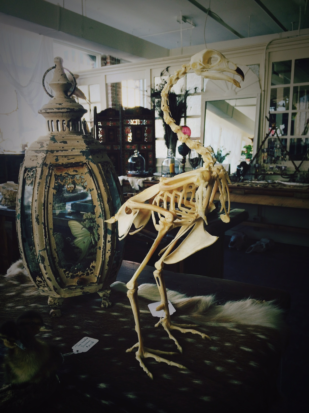 Behold, acompleted rooster skeleton!