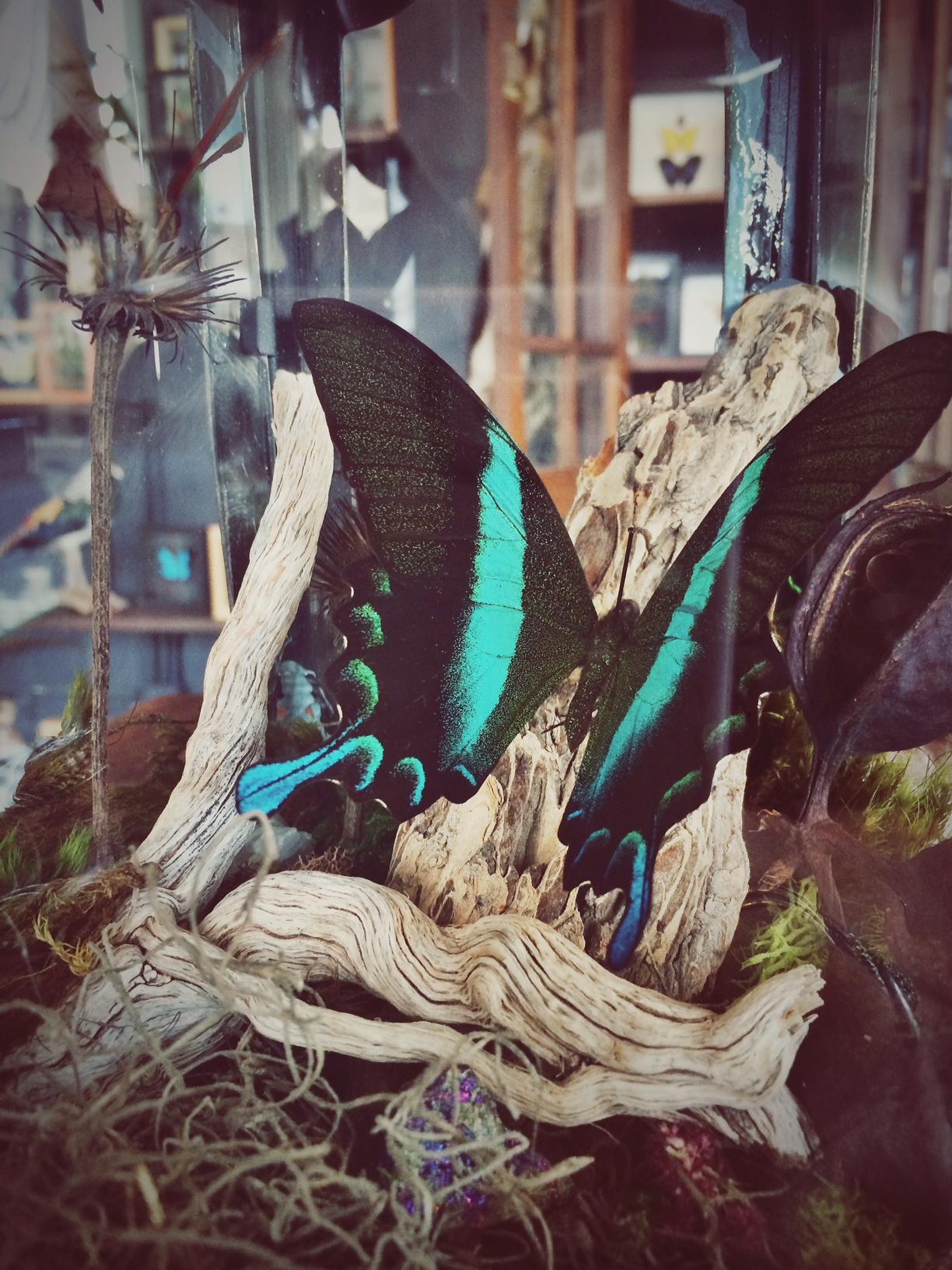 OracleKC.ButterfliesLantern.jpg