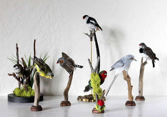 Premiering work by Blinking Eyes Taxidermy  Captive Bred Song Birds!