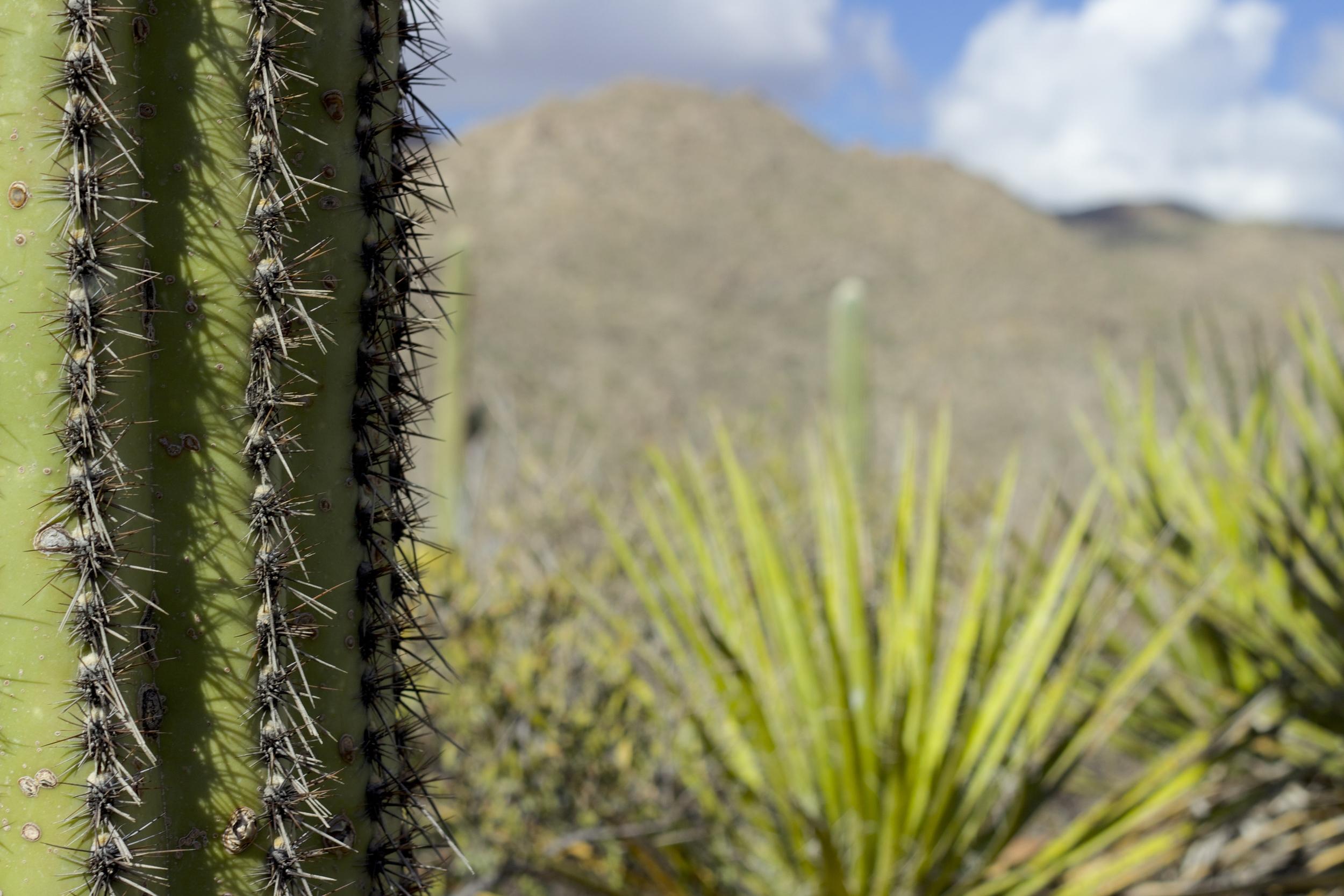 """Burro Canyon Saguaro"""