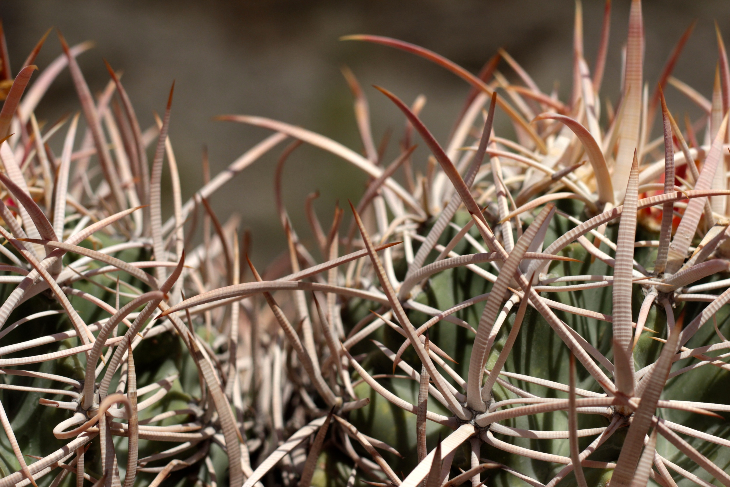 """""""Cottontop Cactus #2"""""""