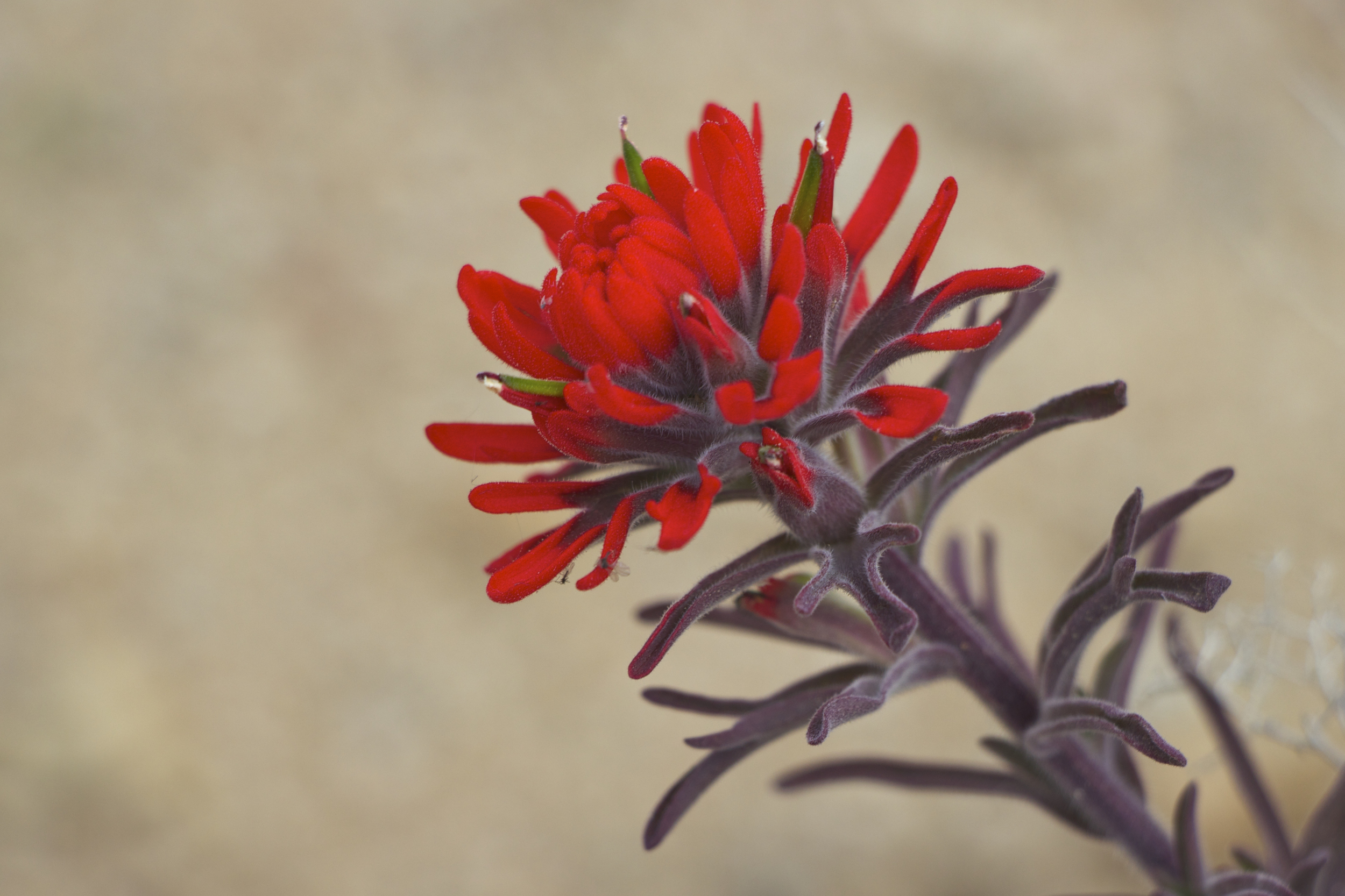 """Desert Paintbrush #1"""