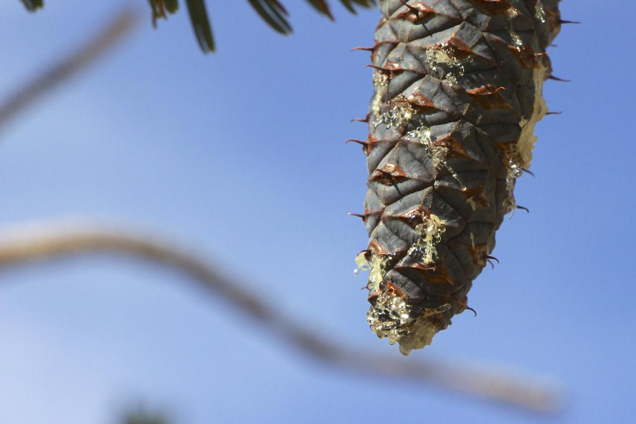 """""""Ancient Bristlecone Pine Cone #1"""""""