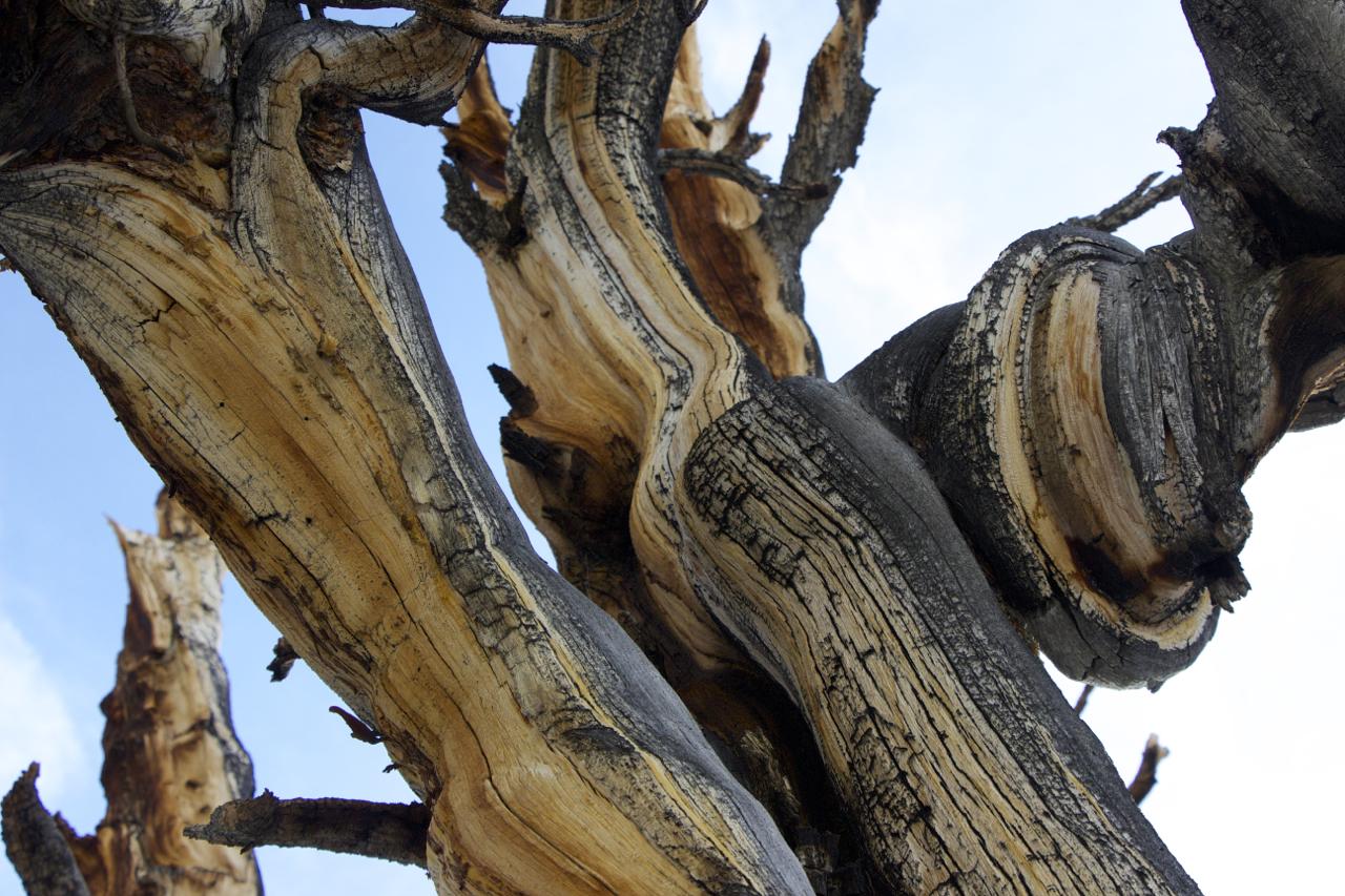 """Ancient Bristlecone Pine Knots"""